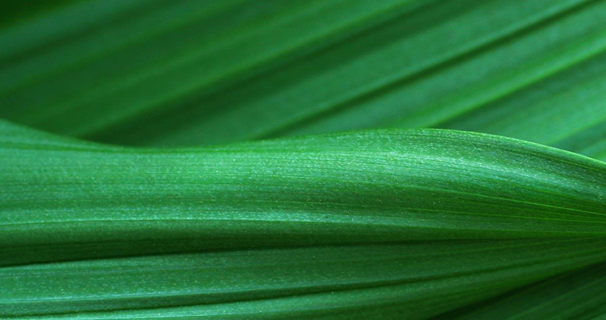 Blade of grass closeup
